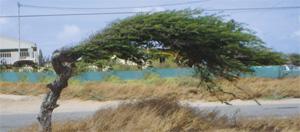 Things to do in Aruba: DiviDivi tree