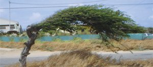 Things to do in Aruba: DiviDivi tree
